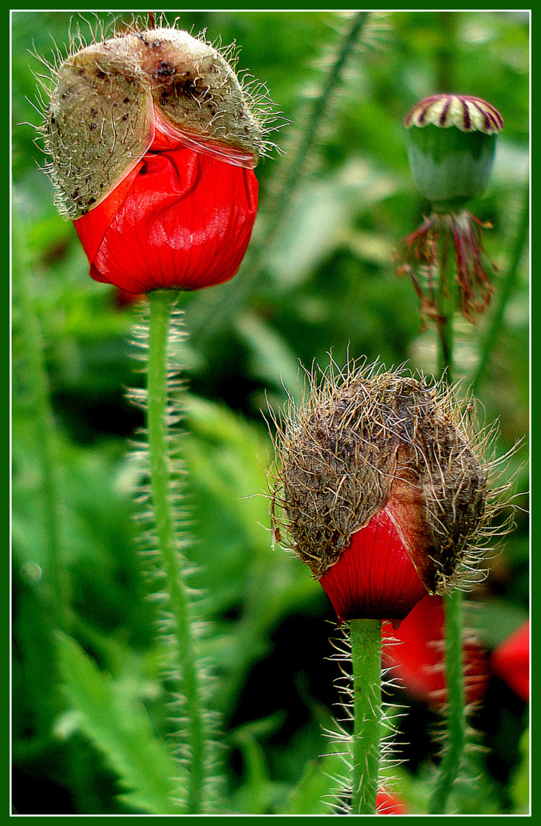 Photograph poppy in embryonic stage by naveen sharma on 500px