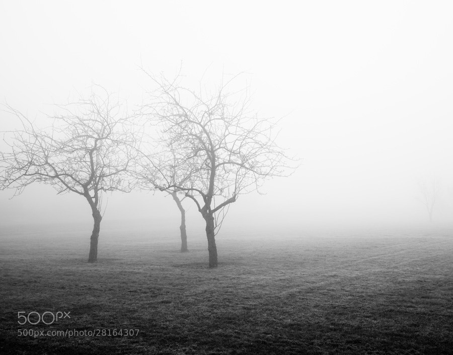 Photograph Orchard Fog by Jennifer Squires Ross on 500px