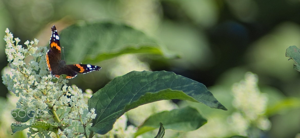Photograph Red Admiral by Mutas Sibai on 500px