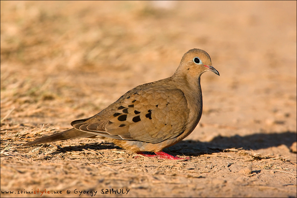Photograph Mourning Dove (Zenaida macroura) by Gyorgy Szimuly on 500px