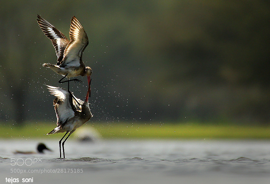 Photograph Black Tailed Godwit by Tejas Soni on 500px