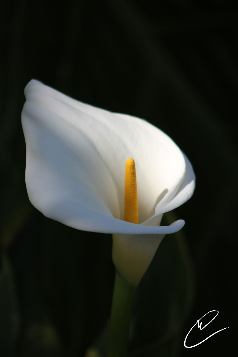 Photograph Calla Lilly by Charles Mesnard on 500px