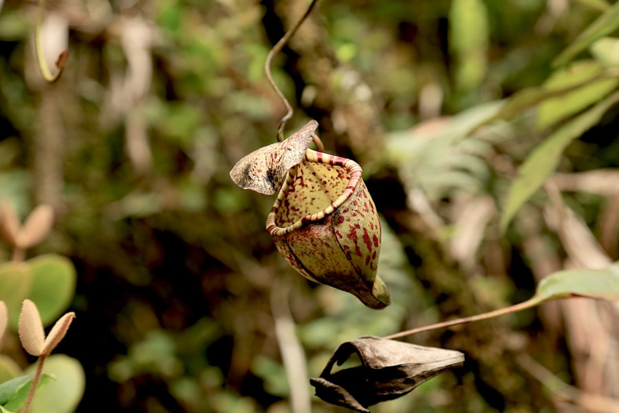 ok the Raja, the king of Pitcher Plants is impressive, but i do prefer this tiny little Pitcher plant instead :)