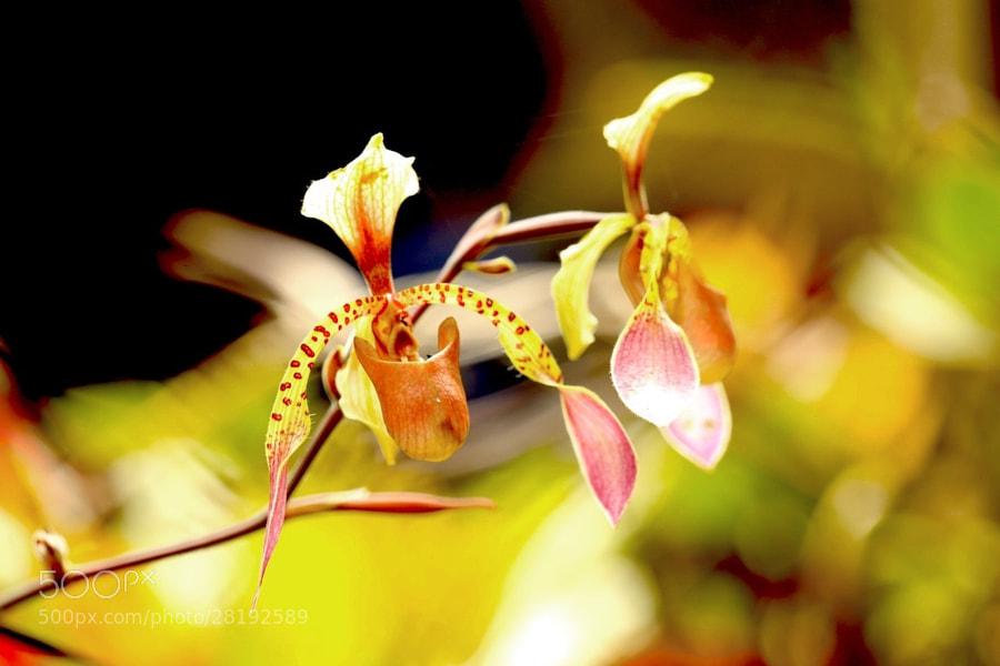 very pretty orchids in Borneo