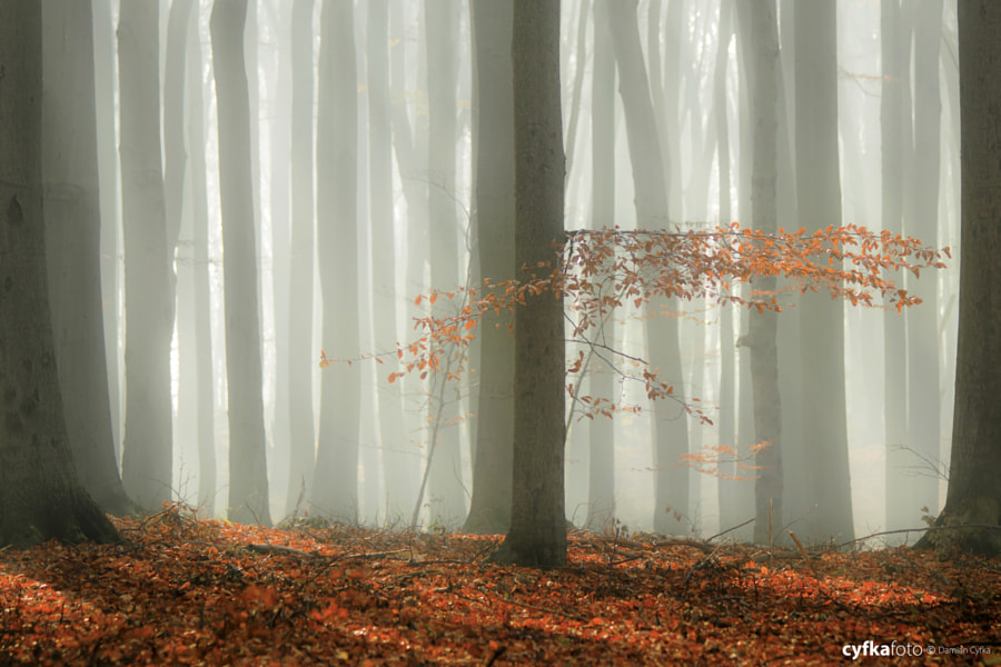 Beech in the mist by Damian Cyfka on 500px.com