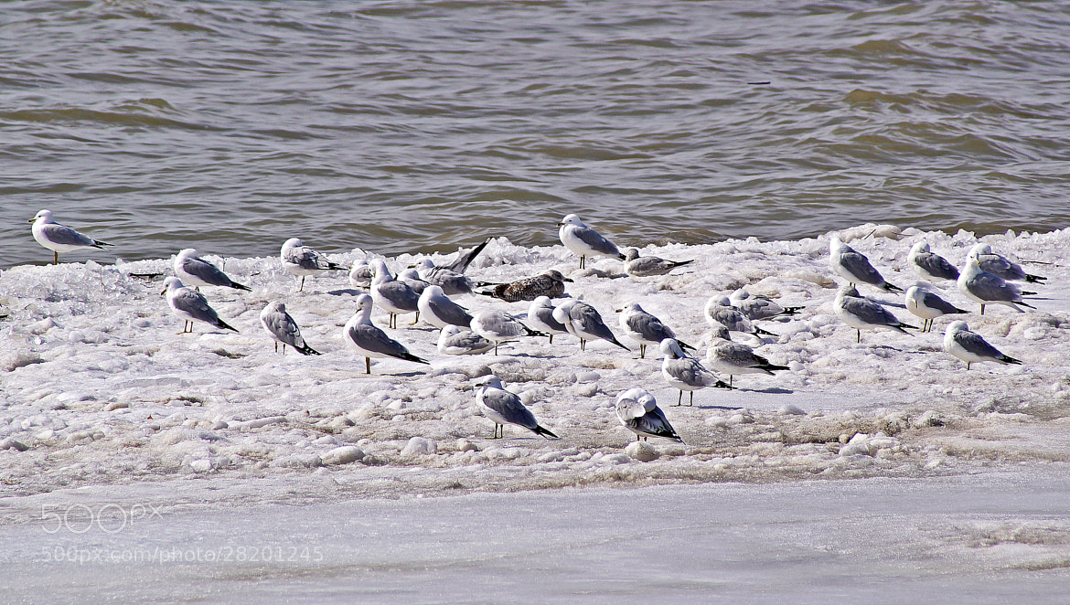 Photograph Winter Gulls by cherylorraine smith on 500px