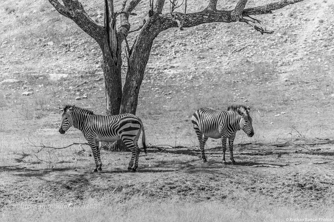 Photograph Striped Brothers by Krishan Bansal on 500px