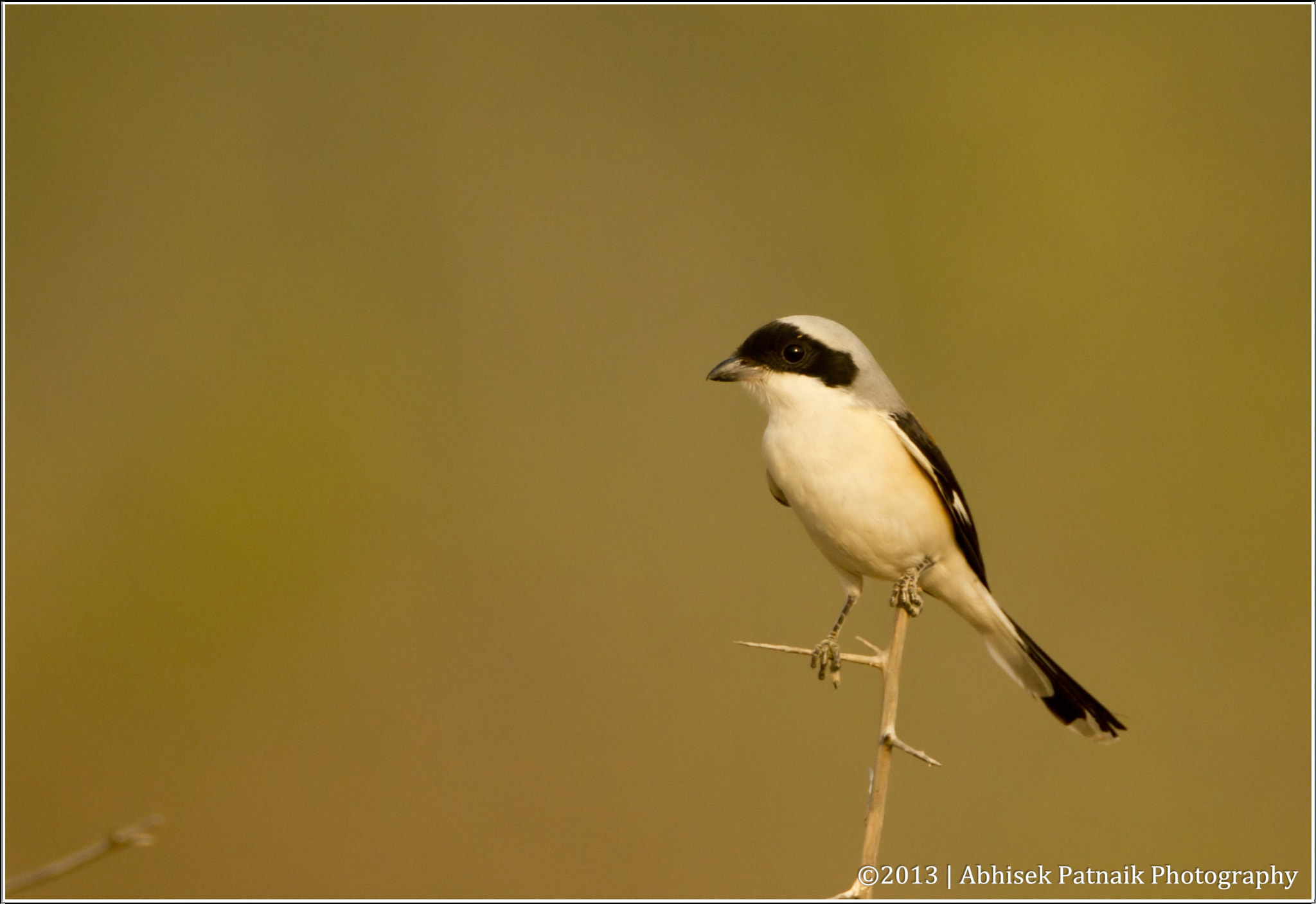 Photograph The Bay-backed Shrike (Lanius vittatus) by Abhisek Patnaik on 500px