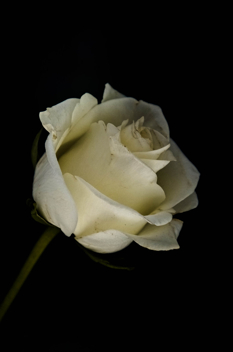 Photograph The Rose by julian john on 500px