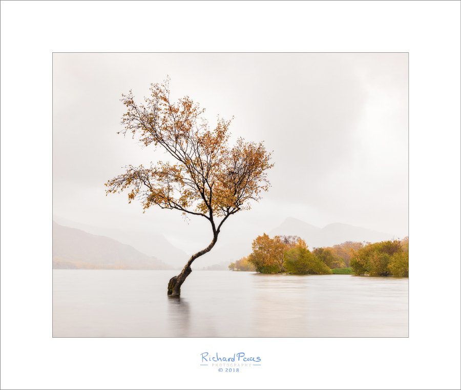 Famous Tree of Llyn Padarn by Richard Paas on 500px.com