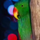 For Mark Harris.   Kiwi is a male Electus parrot who lives at the Bloedel Conservatory in Vancouver, Canada. He's looking quite cinematic here, amongst the festive lights. Perhaps a little Film-Noir.   This image looks best with the house lights down (click it a second time).