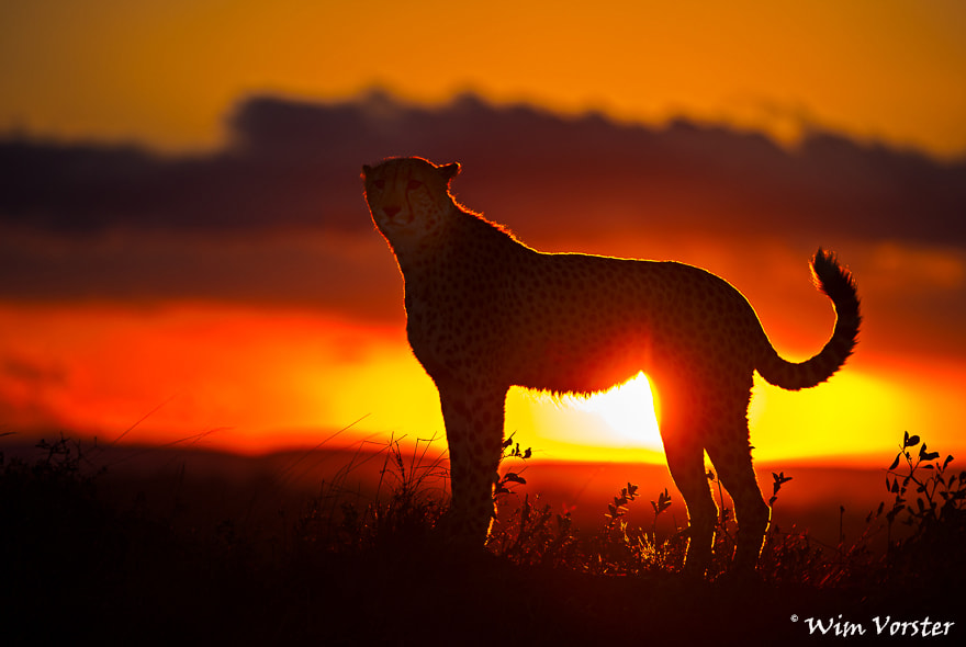 Photograph Male cheetah at sunset by Wim Vorster Photography on 500px