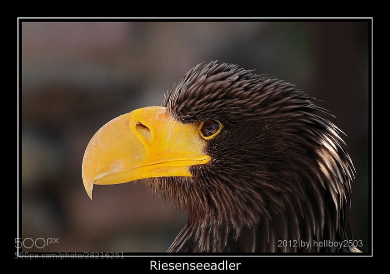 Photograph Riesenseeadler by Jörg David Photography  on 500px