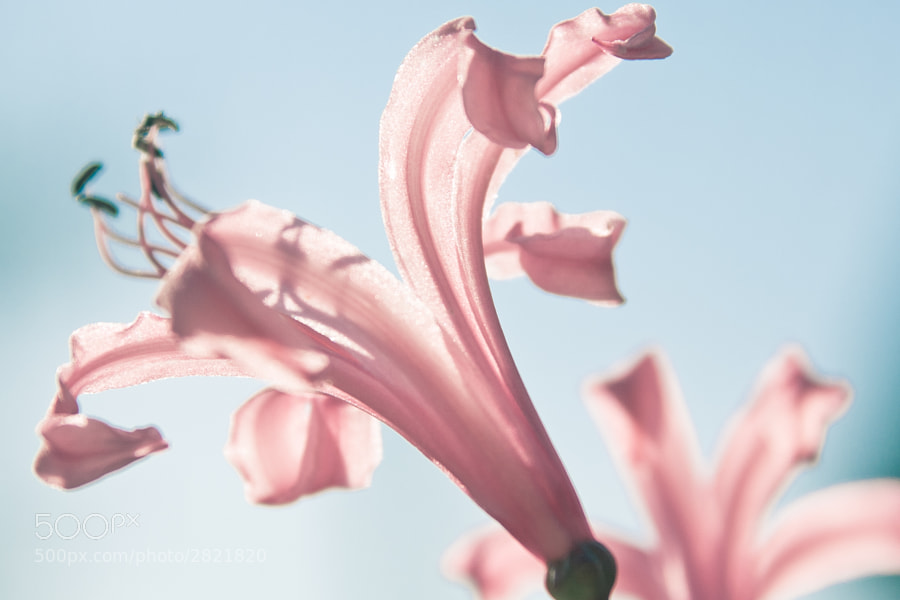Photograph Pink fanfare by Graeme Jago on 500px