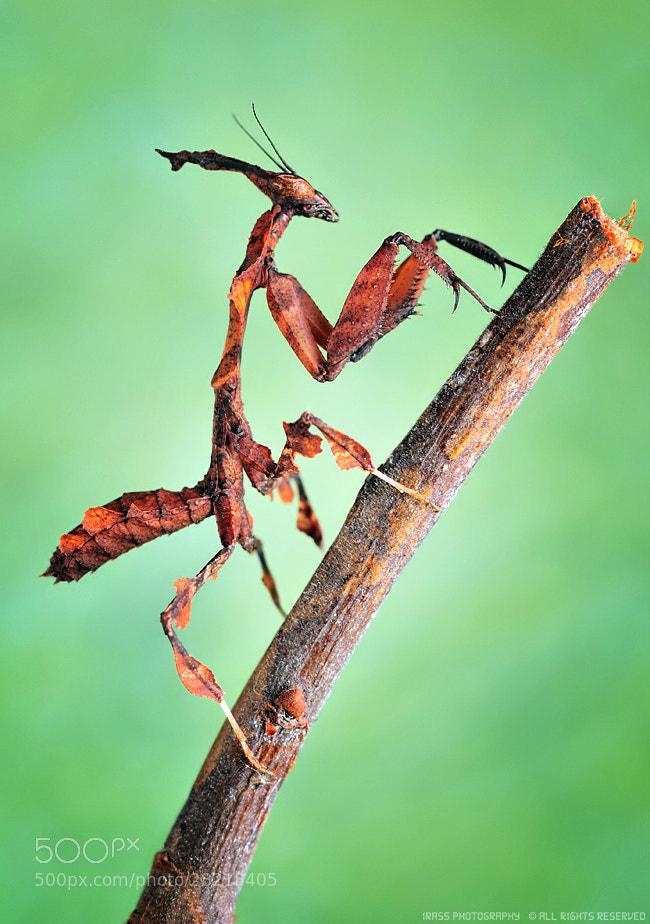 Photograph Phyllocrania paradoxa. by ireneusz irass walędzik on 500px