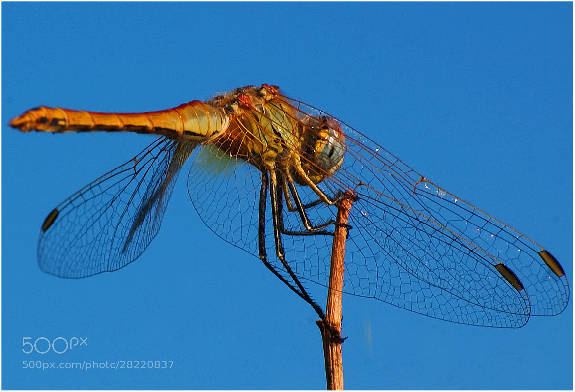 Photograph dragonfly by Stefano Crea on 500px