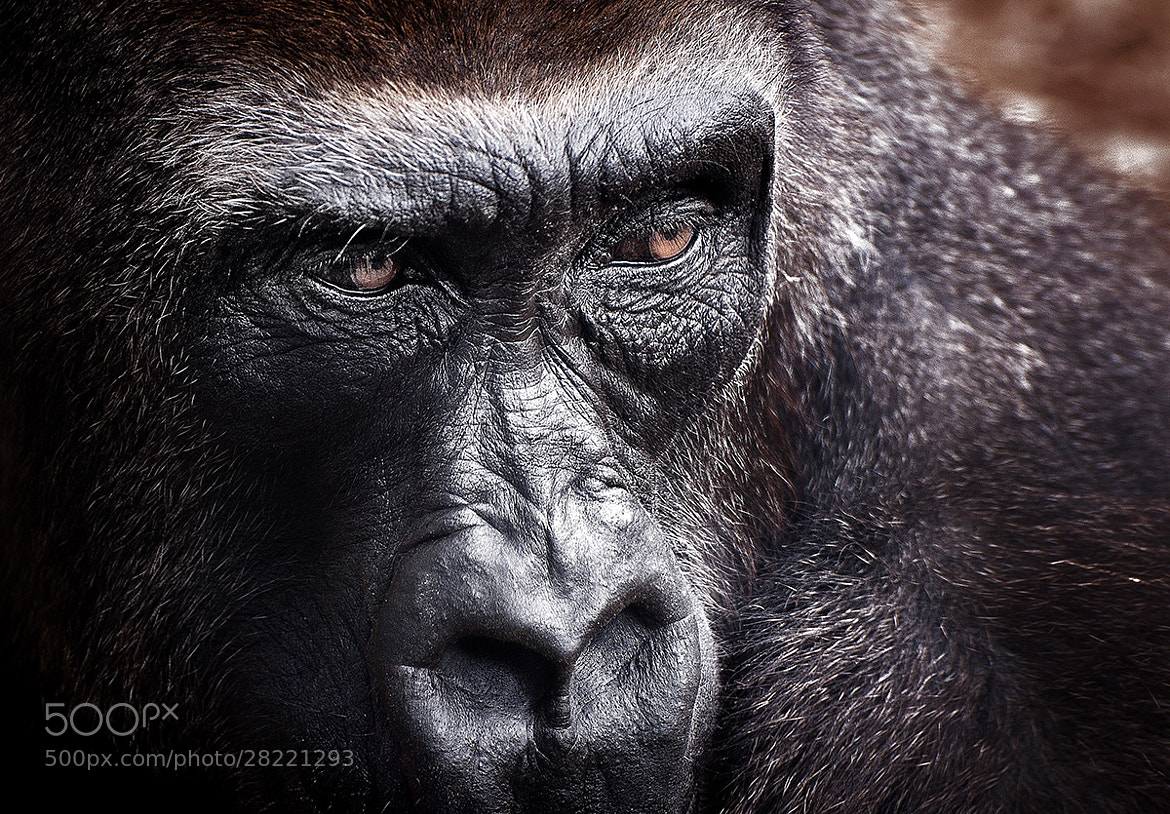 Photograph Gorilla by ErAn Croitoru on 500px