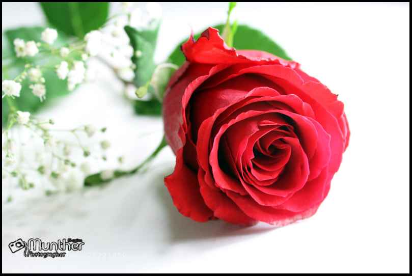 Photograph Red Rose by munther Almsian on 500px