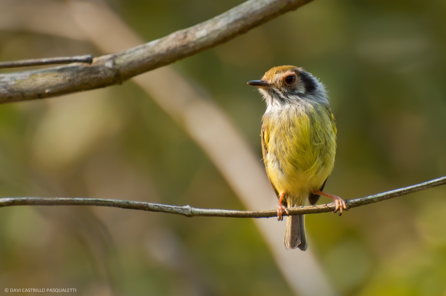 Photograph Eared Pygmy-Tyrant (Myiornis auricularis) by Davi  Pasqualetti on 500px