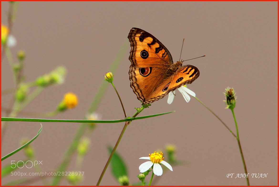 Photograph BUTTERFLY by Tuan Nguyen Anh on 500px