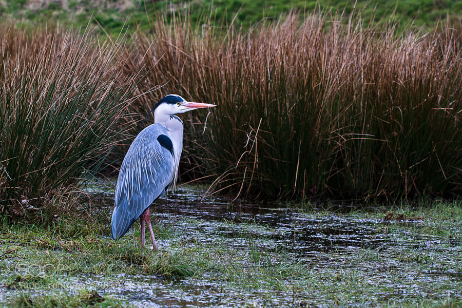 Grey Heron by Katie Halsall on 500px.com
