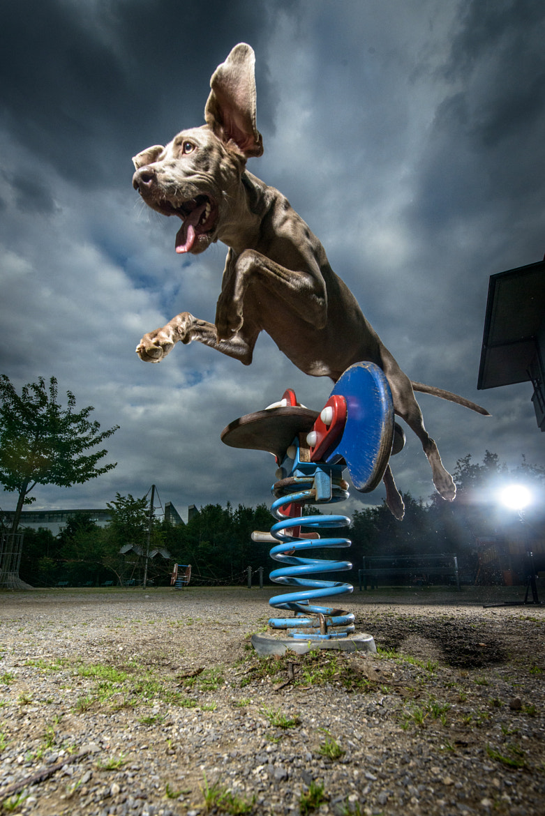 Photograph jumping weimaraner dog by Klaus Dyba on 500px