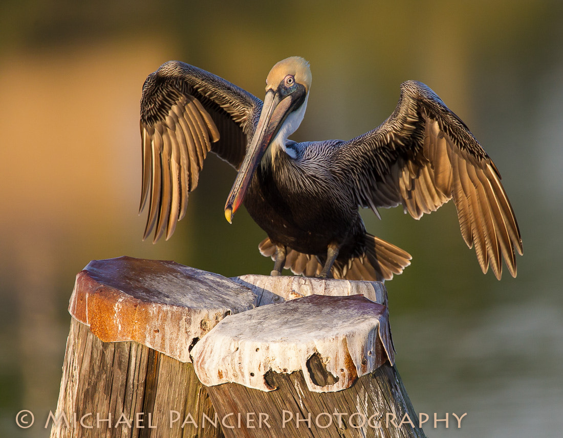 Photograph Brown Pelican Open Wings by Michael Pancier Photography on 500px
