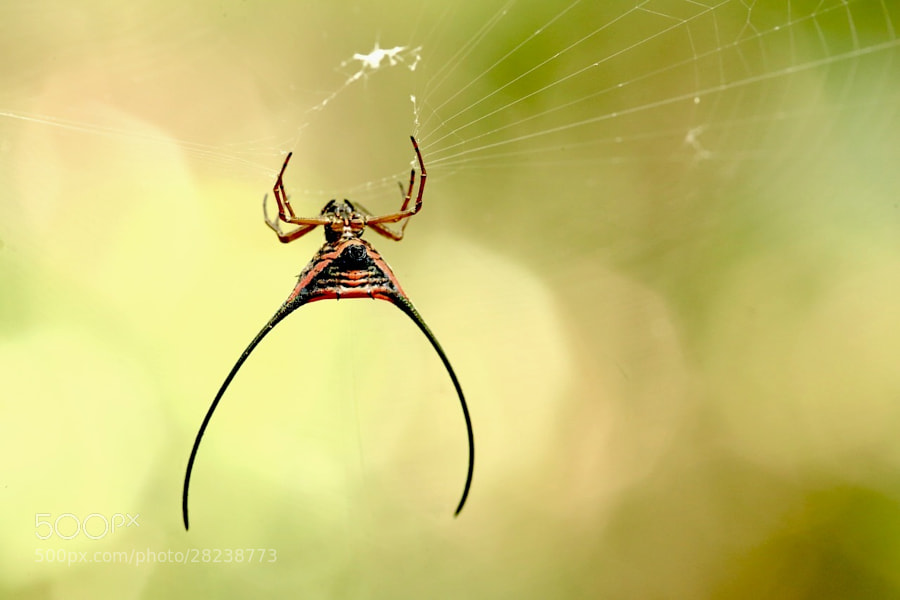 this is one VERY cool looking spide. was a bit difficult to get a good shot because it was a bit windy