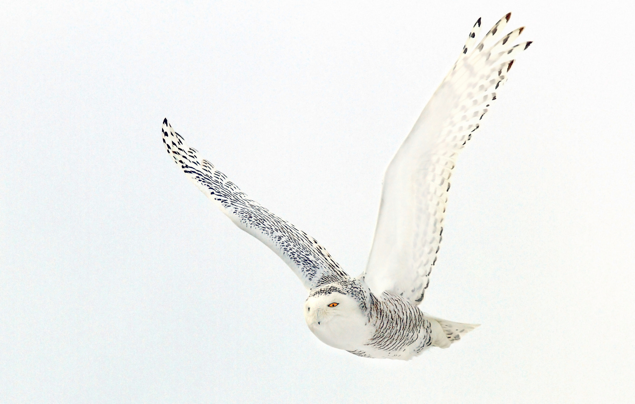 Photograph Afternoon Flight - Snowy Owl by Jim Cumming on 500px