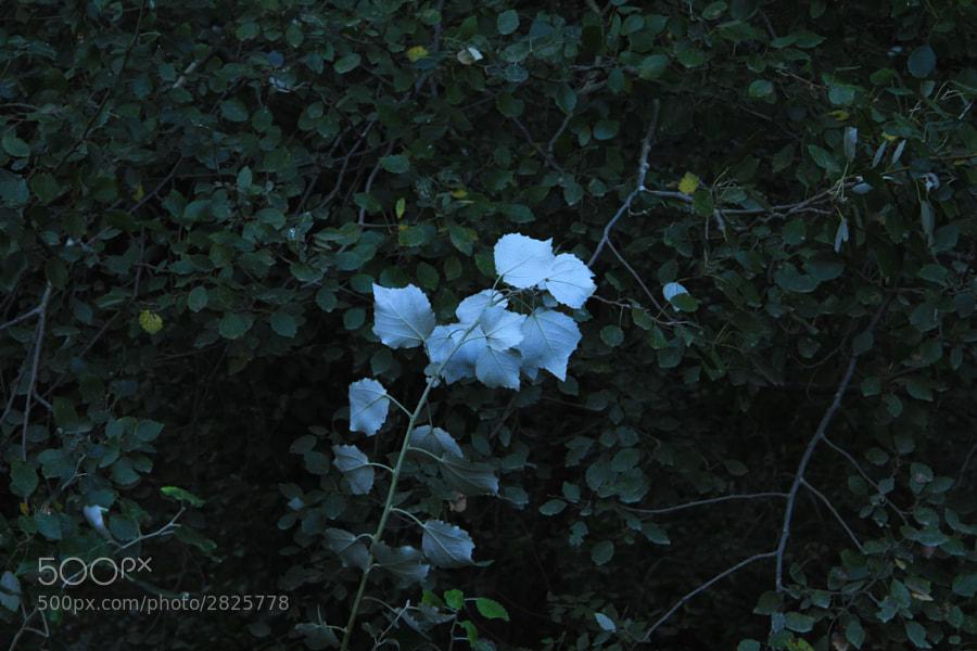 Hay hojas tan delicadas, que una suave brisa le da la vuelta y muestra así todo su esplendor.   http://500px.com/BernardoIribarnegaray/blog/17040