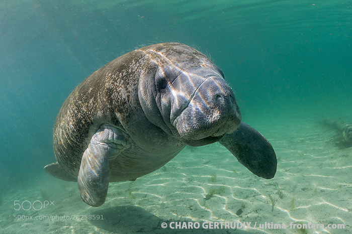 Photograph Manatie by Charo Gertrudix on 500px