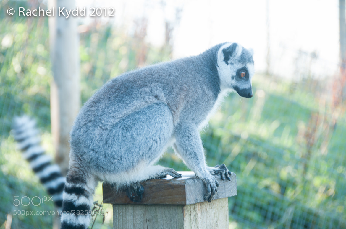 Photograph Ring Tailed Lemur by Rachel Kydd on 500px