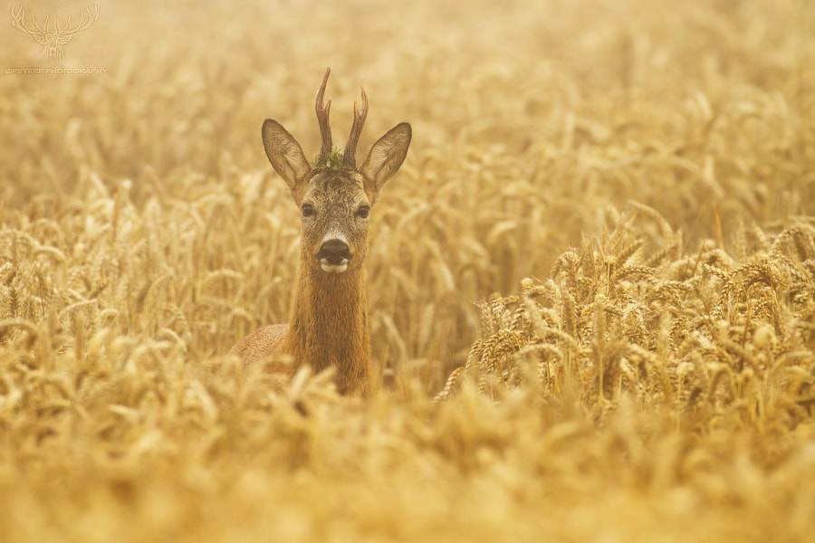 Photograph buck in the morning fog by Peter Kralik on 500px
