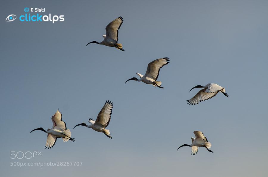 Photograph Ibis nel vento... (Valeggio, Lomellina, Provincia di Pavia) by Francesco Sisti on 500px