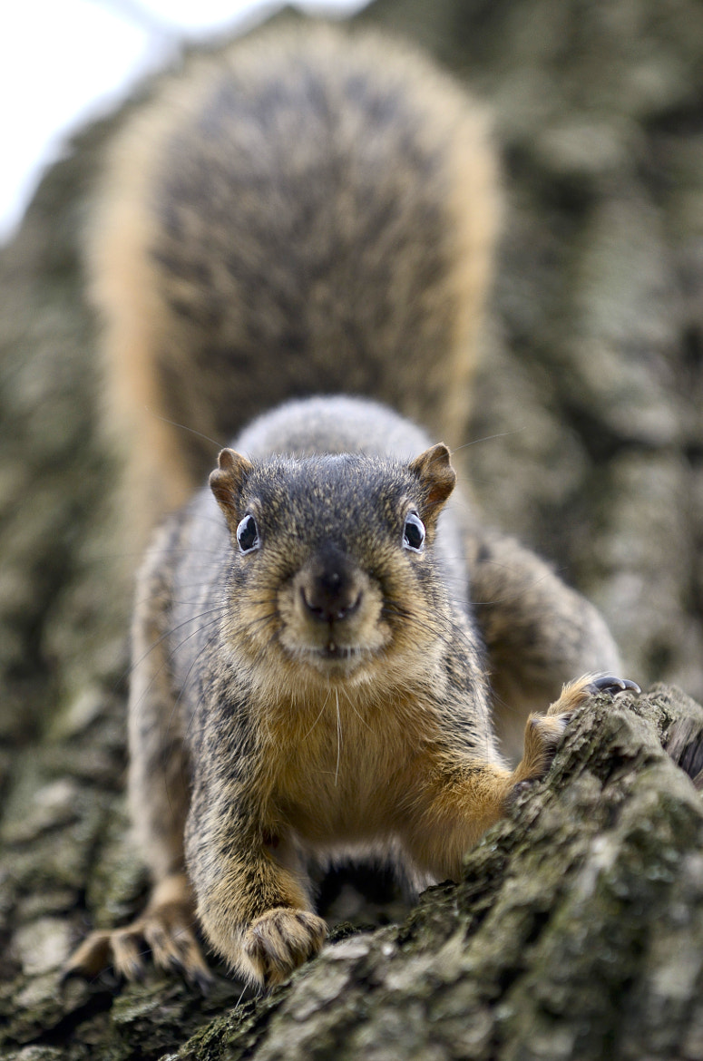 Photograph Fox Squirrel stare off by Chris Shelton on 500px