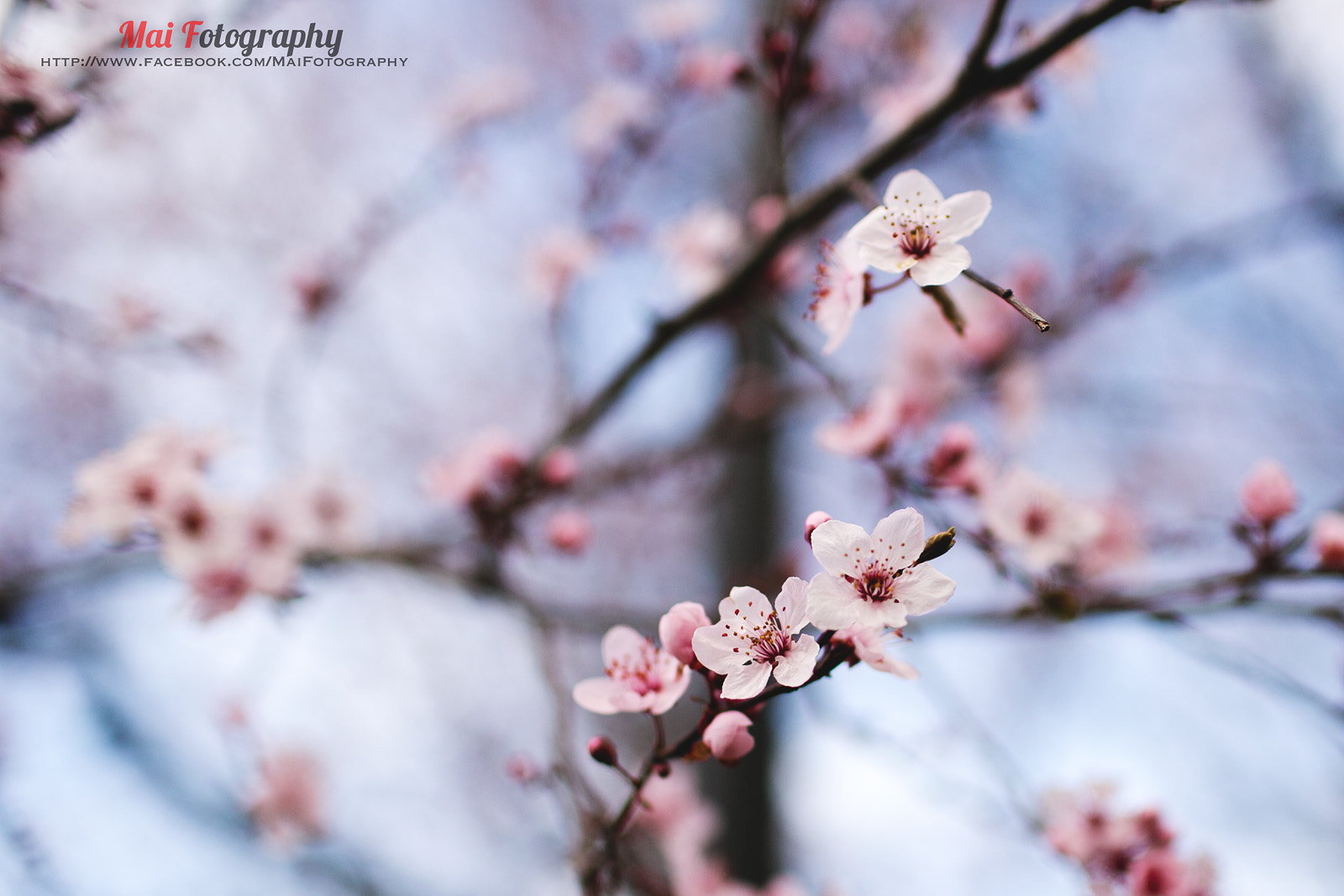 Photograph Sakura 3 by Mai Fotography on 500px