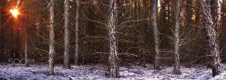 Photograph Pine Burst || BLACKHEATH WINTER by Rhys Pope  on 500px