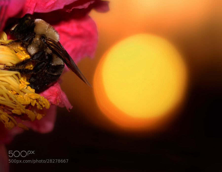 As the sun sinks low, a bumblebee finds a bed for the night.