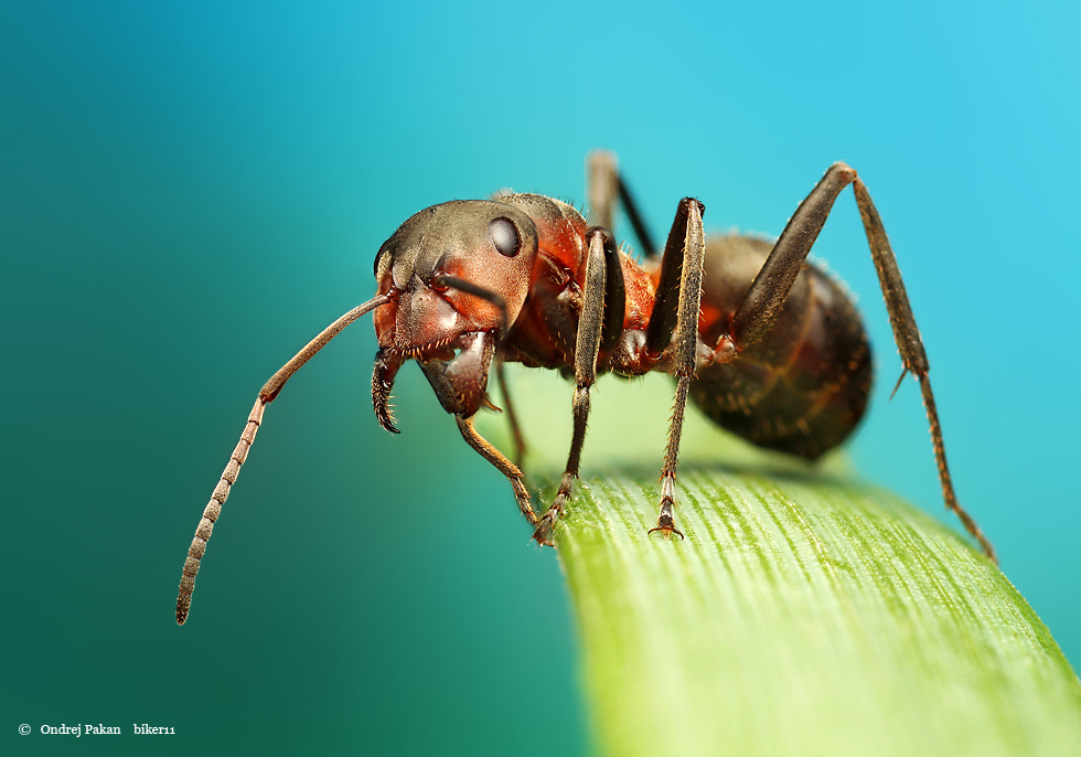Photograph Ant by Ondrej Pakan on 500px