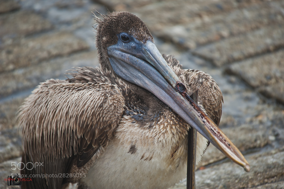 Photograph Broken Beak by Neil Young on 500px