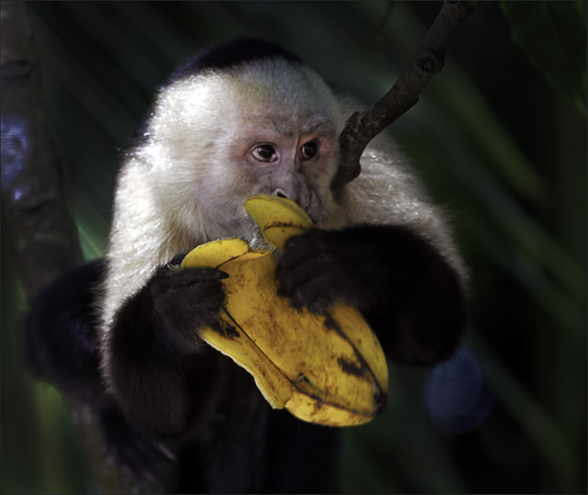 Photograph White-faced Capuchin, Costa Rica by Marianne Bush on 500px