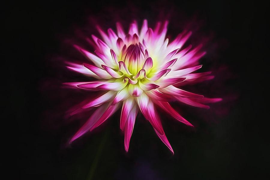 Dahlia Star by clint hudson on 500px.com
