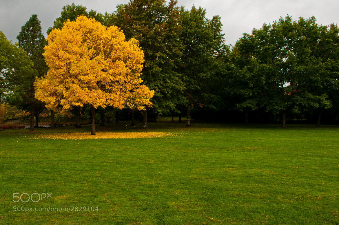 Photograph Yellow Tree by Dennis Rivera on 500px