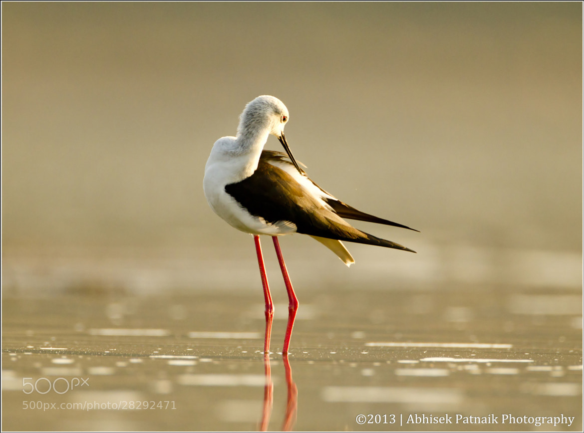 Photograph Black Winged Stilt  by Abhisek Patnaik on 500px