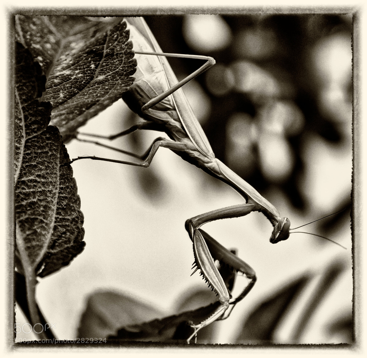 Photograph Albino praying mantis by Spartaco Baldelli on 500px
