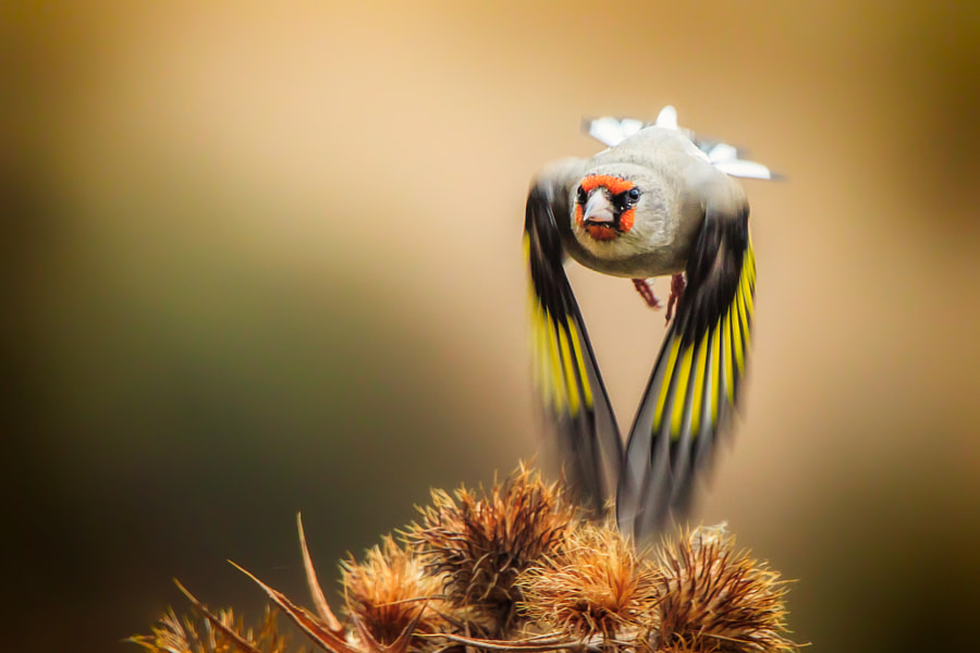 Goldfinch by Sina Pezeshki on 500px.com