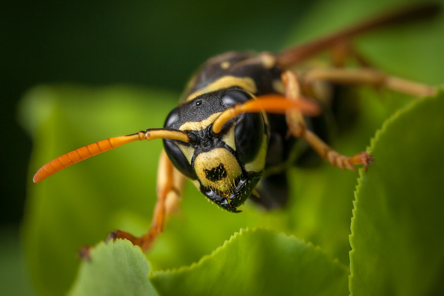 Photograph Polistes by Stavros Markopoulos on 500px