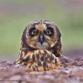 A Short Eared Owl taking shelter in volcanic rocks.