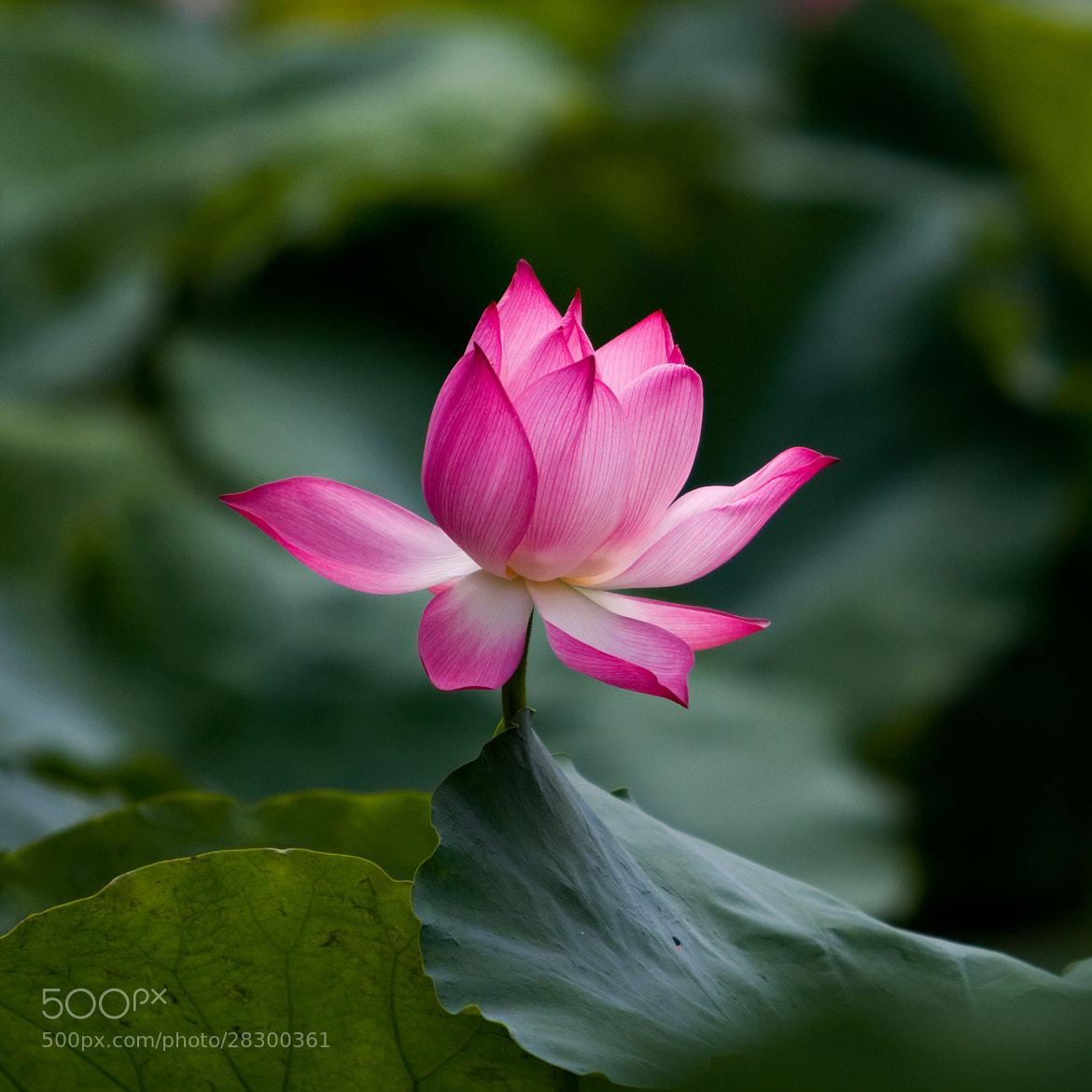 Photograph Lotus flower by Bui Hung on 500px