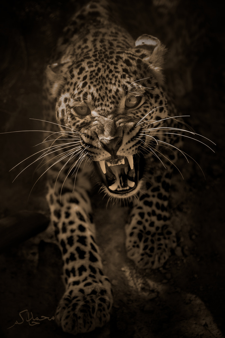 Photograph an Angry leopard by Mohamed Hakem on 500px